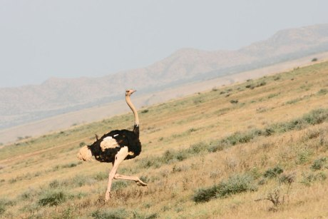 Eritrean ostrich 2